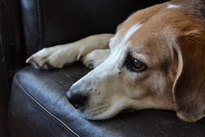 A Beagle-Pair Betrayed by Their Owner!