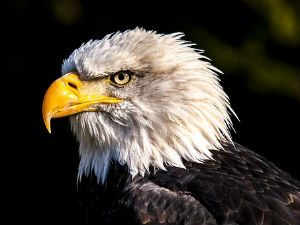 Reward Offered for Stolen Eagle
