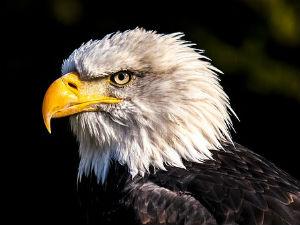 stolen eagle